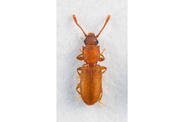 Silvanus recticollis, the newly discovered bark beetle at Wicken Fen. © Allan Drewitt