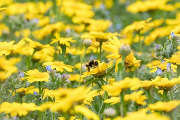 White-tailed bumblebee. © Pieter Haringsma