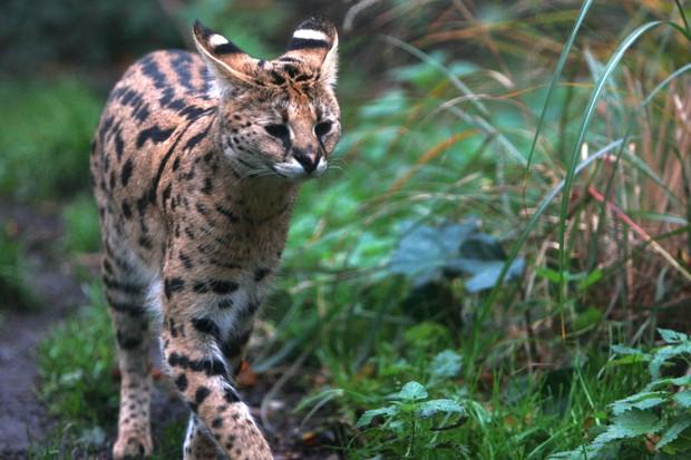 Serval cat at ZSL London Zoo. © James Godwin/ZSL