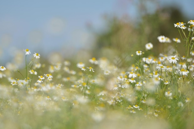 Daisies. © Butterfly Conservation