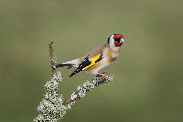 Goldfinch. © Edmund Fellowes/BTO