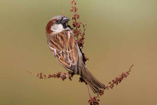 House sparrow. © Edmund Fellowes/BTO