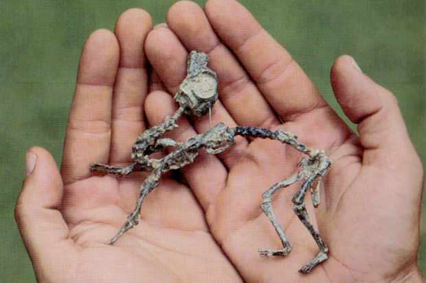 Mussaurus hatchling skeleton. © Dr Andrew Cuff