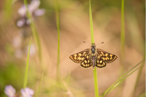 Chequered skipper butterfly. © Ben Andrew
