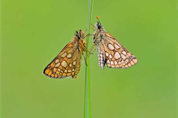 Chequered skipper. © Andrew Cooper