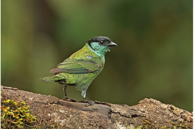 Black-capped Tanager (Tangara heinei) resting on a branch. © Neil Bowman/Getty.