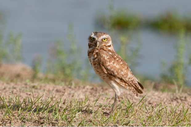 Burrowing owl standing tall on the ground. © NTCo/Getty.
