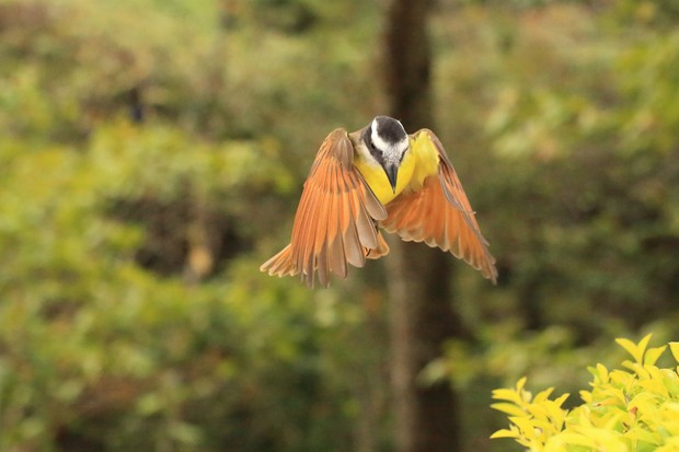 Great kiskadee caught in flight. © camacho9999/Getty.