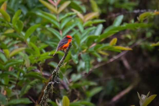 Colourful Vermillion flycatcher perching on a branch. © Uwe-Bergwitz/Getty.