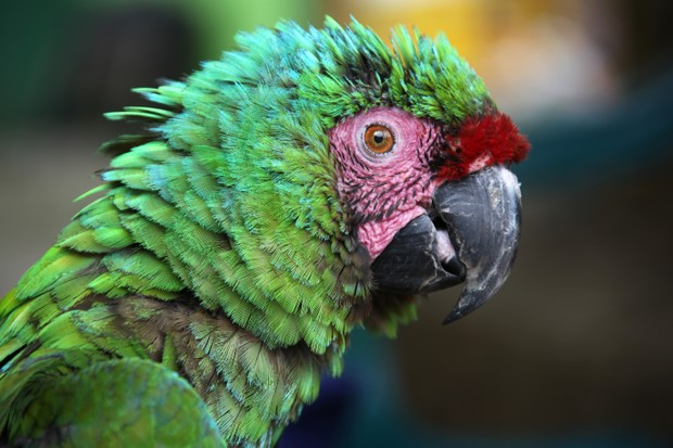 Scruffy green macaw with green blue feathers and pink eye patch in Santa Marta. © Lisa Strachan/Getty.
