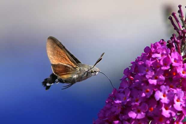 Hummingbird hawk moth. © Steve Maskell/Butterfly Conservation.
