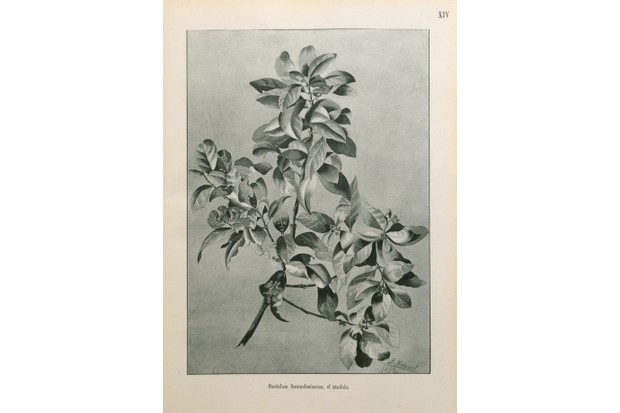 The Chile sandalwood was harvested for its aromatic sandalwood and has not been seen since 1908. © Royal Botanic Gardens, Kew