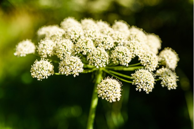 Wild angelica. © Reim photo/Getty