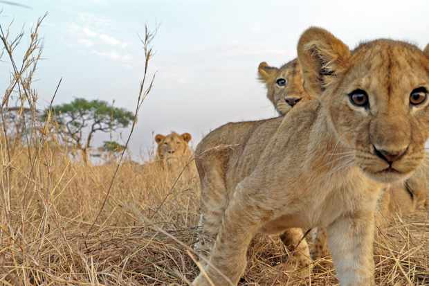 Lion cubs. © Geoff Bell/John Downer Productions/BBC