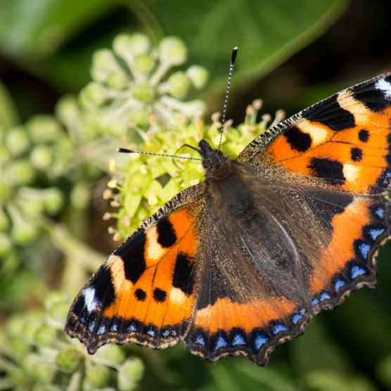 Small tortoiseshell butterfly on ivy flowers. © Estuary Pig/Getty