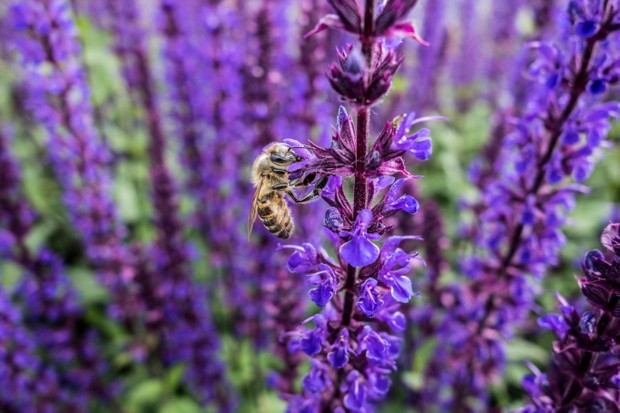 Honeybee on catmint flowers. © Ivanoal/Getty