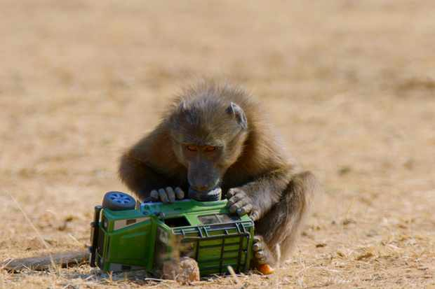 Chacma baboon playing with a toy truck