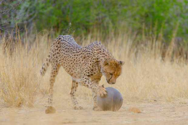 Cheetah playing with a ball