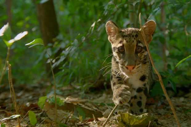 A cloud leopard cub