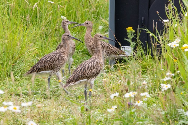 Curlew fledglings being released onto a reserve in Gloucestershire