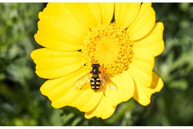 Eupeodes corollae. © Will Hawkes