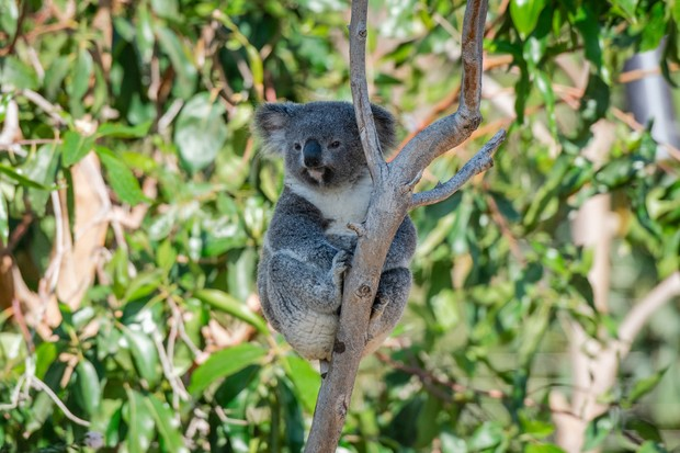 Koalas are native to Australia. © Weili Li/Getty