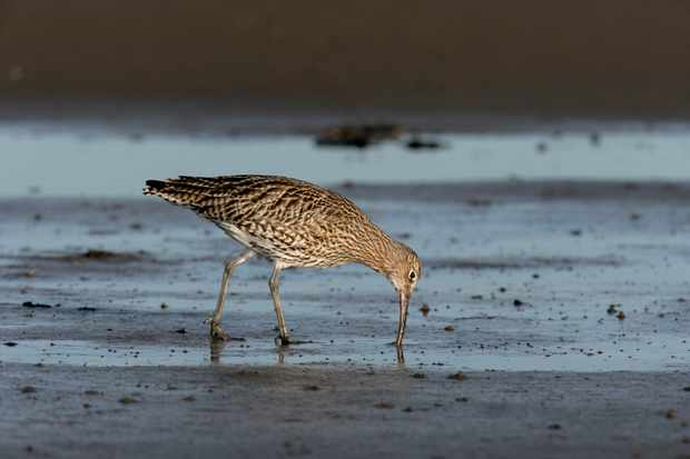 A curlew on mud flats in Northumberland, UK.