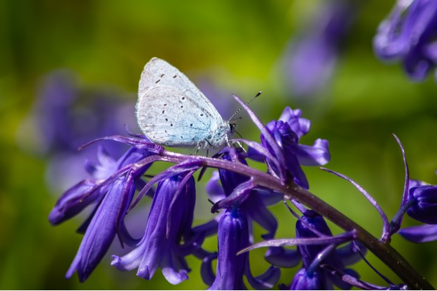 A holly blue butterfly resting on a bluebell. © Estuary Pig/Getty