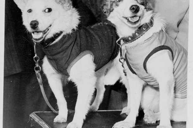 Belka and Strelka, Russian cosmonaut dogs, 1960. Belka and Strelka flew into Earth orbit on board Sputnik 5 on 19 August 1960 as part of the Soviet programme aimed at determining the viability of manned spaceflight. © Fine Art Images/Heritage Images/Getty Images