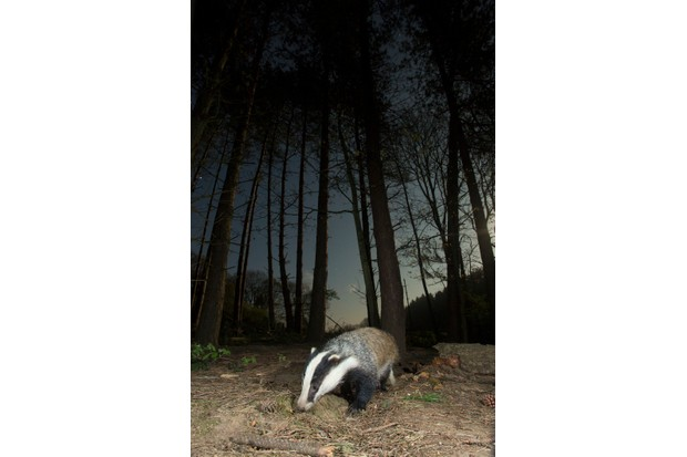 Badger foraging for worms in a pine forest at night.