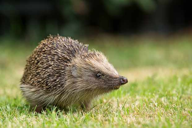 A hedgehog in Chelmsford, Essex, UK