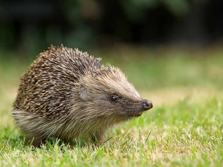 Hedgehog highways to be included in new housing developments