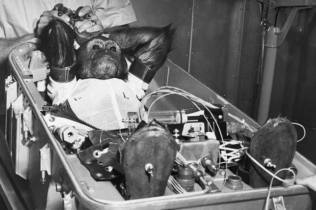Enos, a 5 1/2 year old space chimpanzee reclines in the flight couch. © Bettman/Getty