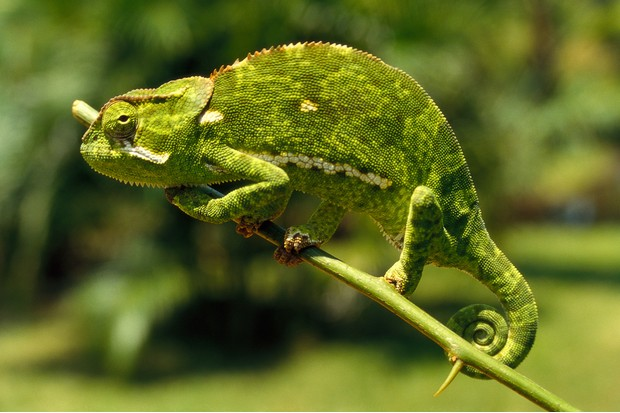 The Squamata group includes a wide range of reptiles, including chameleons. © Marco Cazzato/Getty