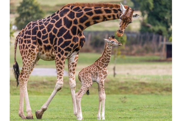 Giraffes are among the safari stars you can spot during a visit to Woburn. © Bridget Davey Photography