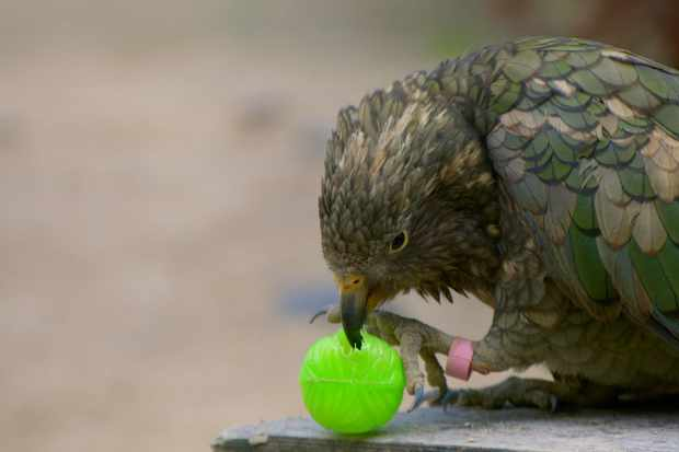 Kea playing with a ball