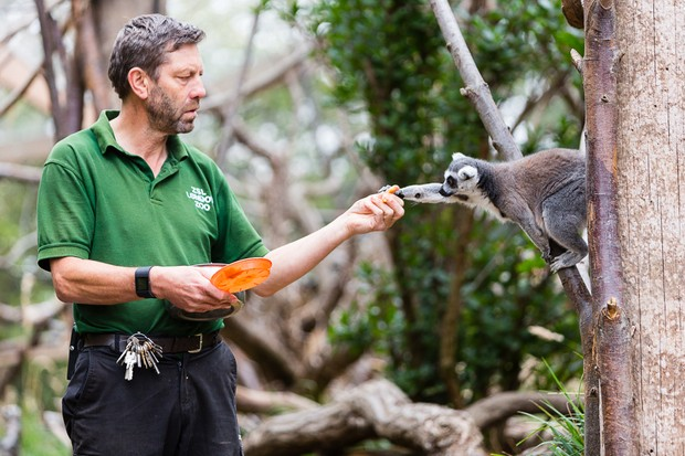 A keeper feeding a lemur at ZSL London Zoo