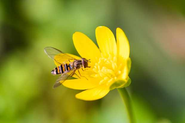 Marmalade hoverfly. © Will Hawkes