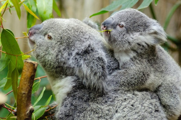 Koalas. © Mathias Appel