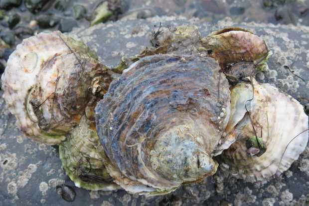 Native oyster cluster. © David Smyth
