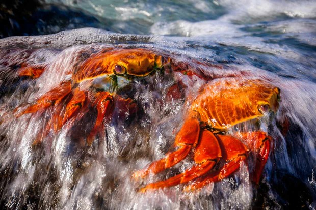 A pair of Sally-lightfoot crabs cling to volcanic rocks on the coast of Santiago Island  Runner-up of the Up Close and Personal category - 'Sally-lightfoot crabs'. © Kevin Purohit/Galápagos Conservation Trust