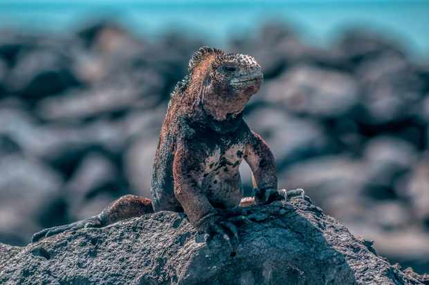 Runner up of the Young Photographer category - 'The Iguana'. © Camilo Idrobo/Galápagos Conservation Trust