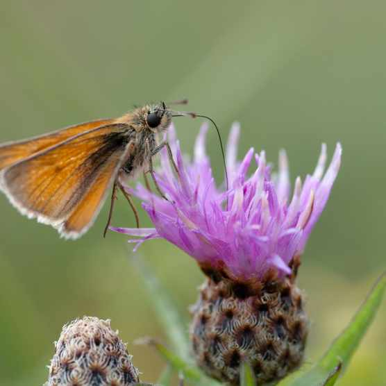 Small skipper butterfly feeding on common knapweed (Centaurea nigra).