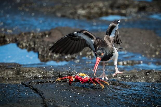 Winner of the Animal Behaviour category - 'Colourful meal'. © Johan Van Wyk/Galápagos Conservation Trust