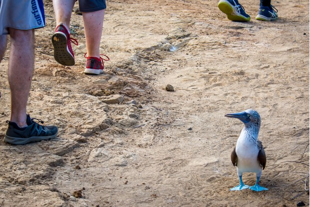 Winner of the Environmental Threats category - 'Blue-footed booby path'. © Donna Johnson/Galápagos Conservation Trust