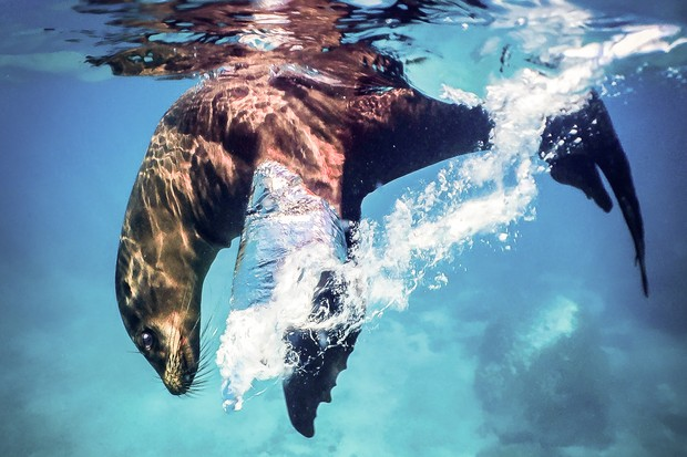 Winner of the Underwater category - 'Swimming mate'. © Joseph J Orsi/Galápagos Conservation Trust