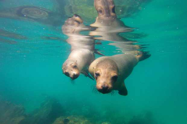 Winner of the Up Close and Personal category - 'Curious sea lions'. © Marcel Gross/Galápagos Conservation Trust