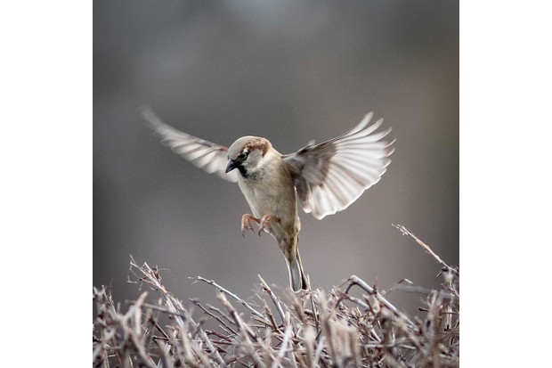 Male house sparrow in flight. © Andy Mason/BTO/ZSL