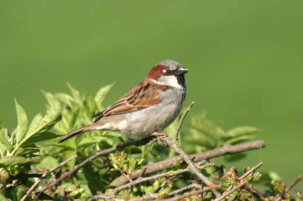 House sparrow. © John Harding/BTO