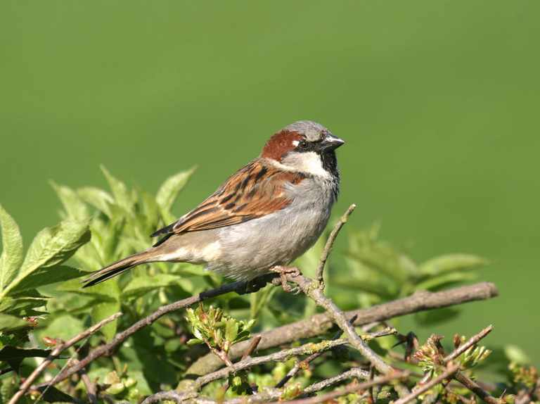 Avian malaria likely cause of decline in London sparrows